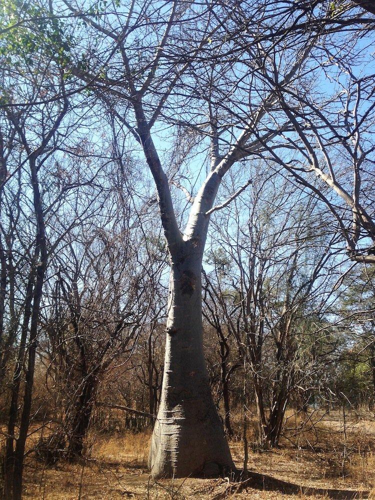 boab-tree